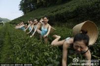 杭州1茶园现芭蕾美女着泳装采茶